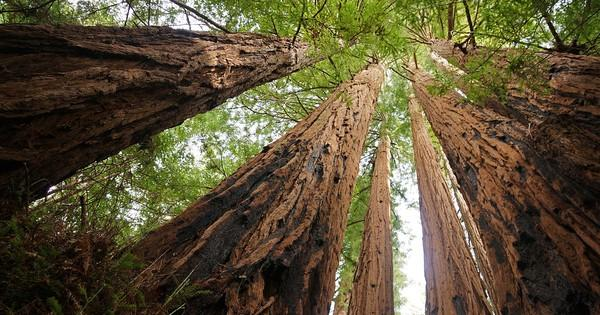 11 facts about coast redwoods, the tallest trees in the world