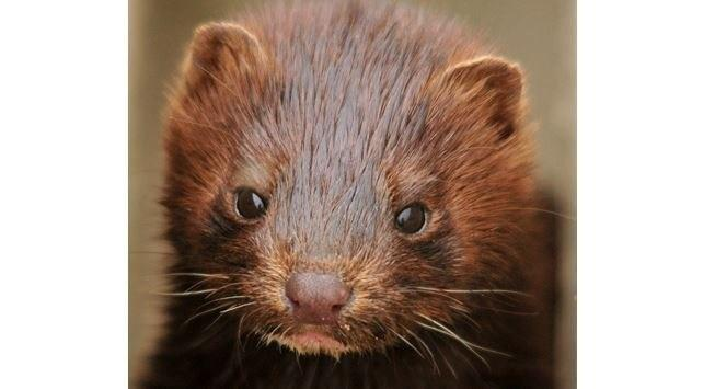 Covid-19 killed over 15,000 mink in the United States • The Pige